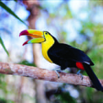 Keel Billed Toucan in Trees